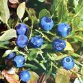 Bilberry Plant Extract